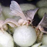 Mire jó a GMO? 30. Pókselyem újratöltve