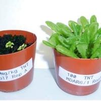 Növények vs. robbanószerek
