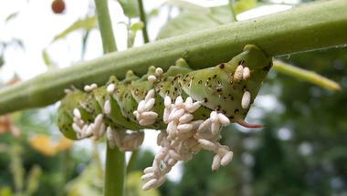 A természetes GMO 2.