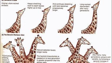 Miért hosszú a zsiráf nyaka?