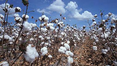 Mennyi a GMO gyapot haszna?
