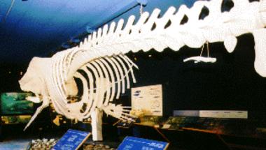 Mikor a bálna a lábán jára - Csökevény szervek 3.