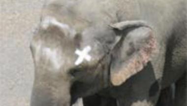 Hiú elefántok