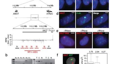 XACT - X akták helyett az X kromoszóma-inaktiválás új résztvevője