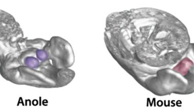 Extra láb vagy második farok? - a pénisz fejlődésbiológiai eredete