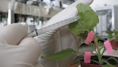 GMO-val az ebola ellen