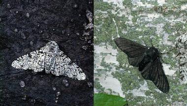Az evolúció régi-új ikonja: a pettyesaraszoló