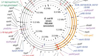 A citromsavemésztő E. coli genomja