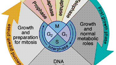 Hogyan aktiválódik a telomeráz a rákos sejtekben?