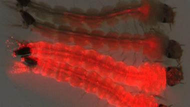 Génmódosított szúnyogokkal a zika vírus ellen