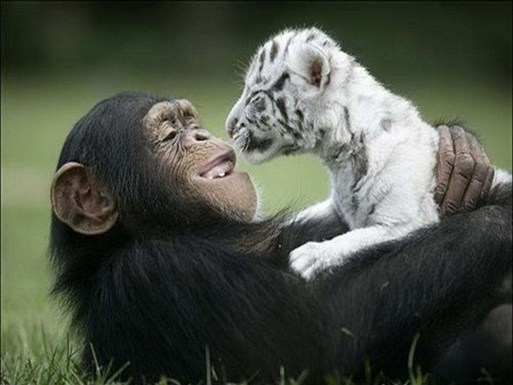 chimp_snowleopard.jpg