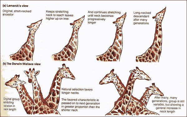 giraffe-lamarck_darwin.jpg