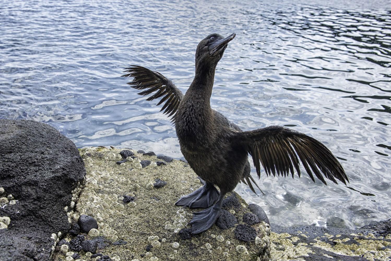 robert-buhs_galapagos_cormorant.jpg
