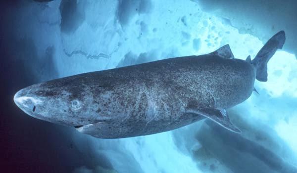 3-greenland-shark1.jpg