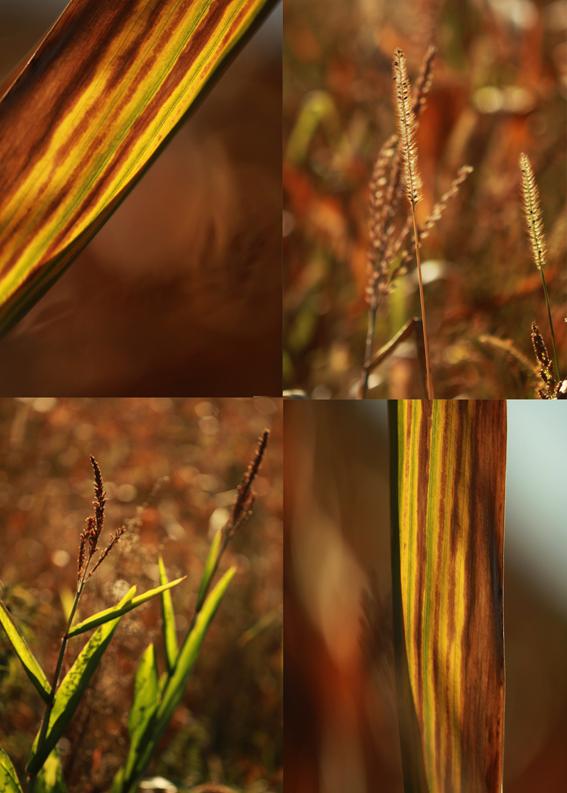 kukorica.jpg