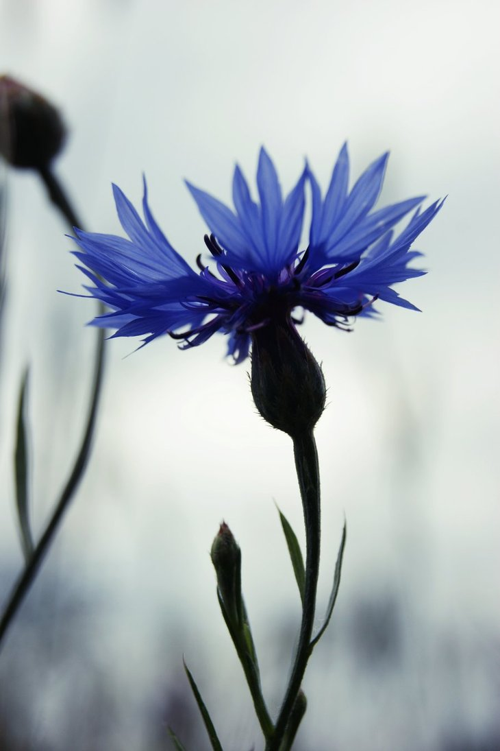 cornflower_by_inees-d3kqf0t.jpg