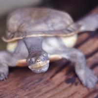 Ez a teknős most hallott egy szuper viccet