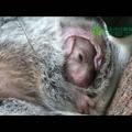 Koala zseb