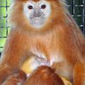 A langur egy majom, és kölyke is van