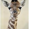 Zsiráfborjú született a Fővárosi Állatkertben