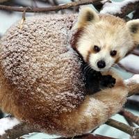 Havas panda
