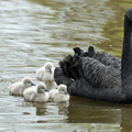Fekete hattyúfiókák születtek az állatkertben