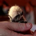Hüvelykujj méretű az újszülött szurikáta