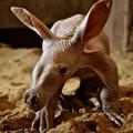 Földimalacbébi a győri állatkertben!