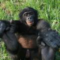 A Bonobo kismajmok visszatérnek a vadonba