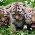 Három a lipcsei tigrincs