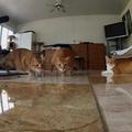 Macskák a patkány ellen