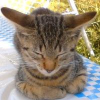 Hörcsög nevét kapta az óriásfülű, könyöklő macska