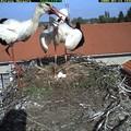 Magyar gólyát is leshetünk webkamerán