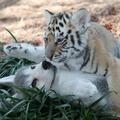 A farkaskölyök és a tigriskölyök barátsága nem tarthat örökké