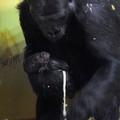 Csütörtöktől látogatható a budapesti gorillakölyök