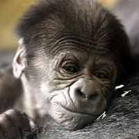 Egynapos gorillabébi itt!