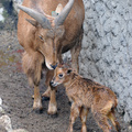 Bárány született a sörényes juhoknál