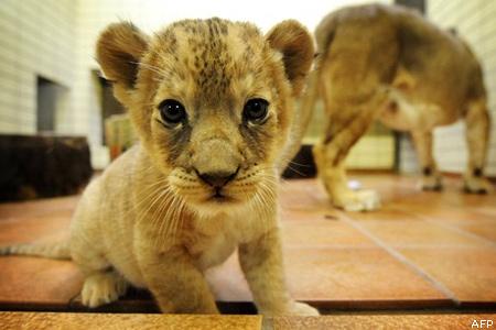 """Képtalálat a következőre: """"cuki oroszlán"""""""