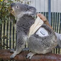 Már a koalák is szenzort használnak!