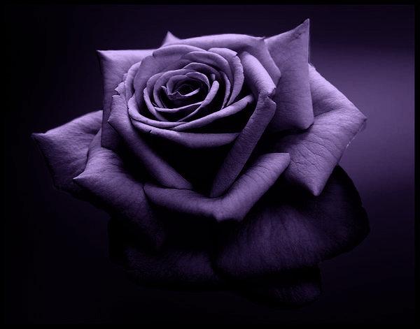 http://m.blog.hu/da/dalone/image/purplesinglerose2ho.jpg