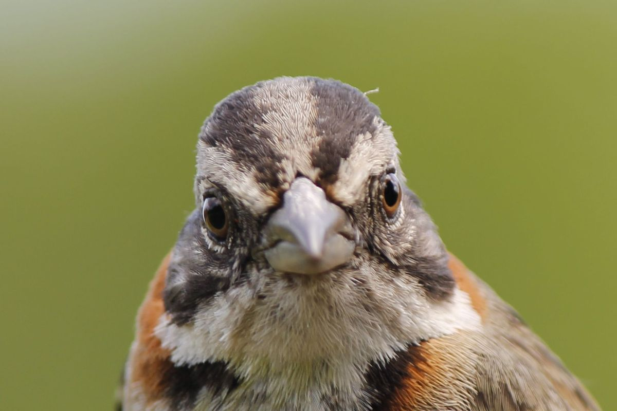 Pablo, a Rufous-collared Sparrow