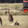 Ausztrália és a Brexit – piacvesztés a kvótaelosztás miatt