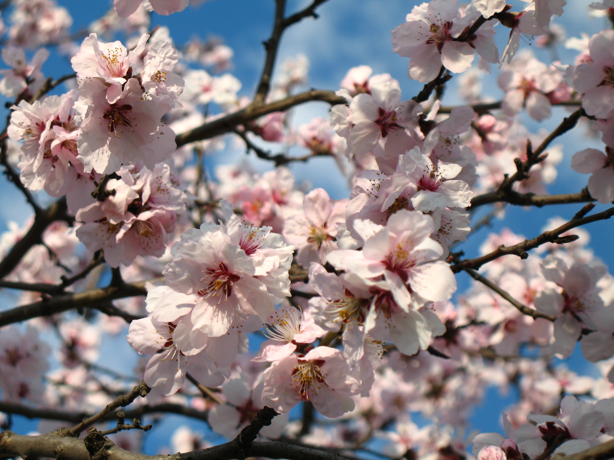 cseresznyefavirág