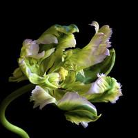 Tulipán mánia