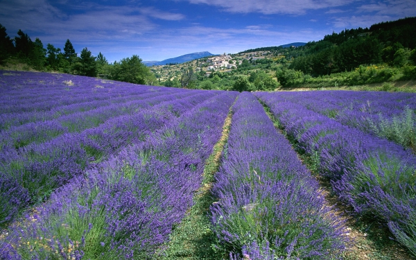 field_of_lavender_in_Provence.jpg