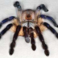 Pókszépségverseny