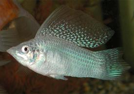 Нерест происходит в том же аквариуме, в котором содержат рыб.