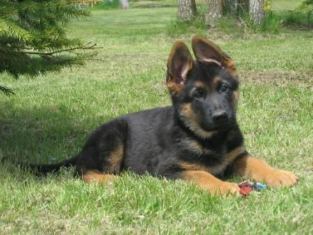 Puppies on German Shepherd Puppy Jpg