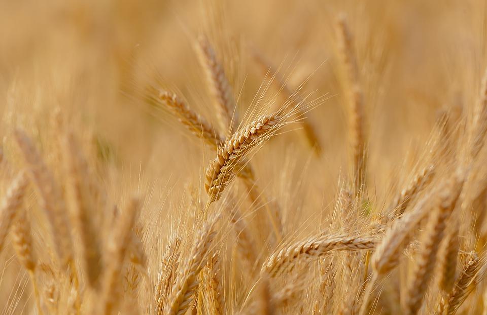 wheat-3241114_960_72_1.jpg