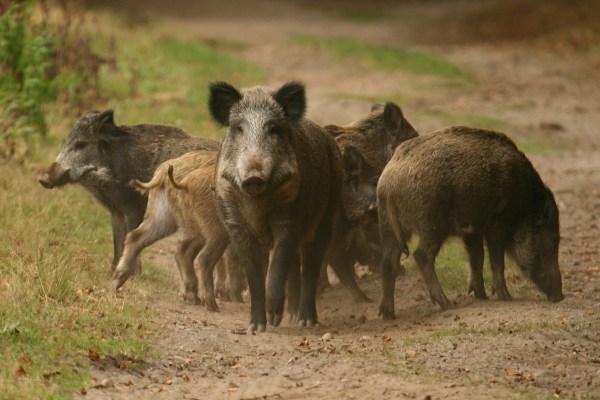 wildschweinrotte-1.jpg